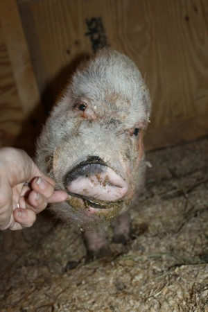 Tabs, the pig with no ears