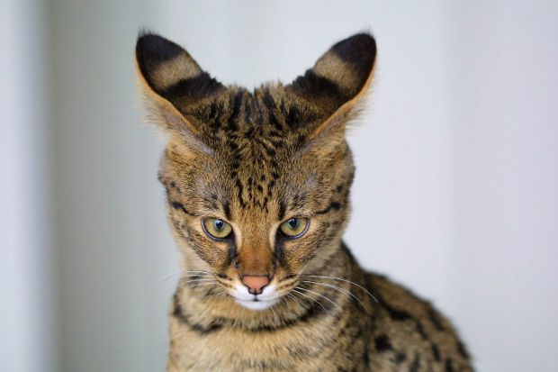Savannah_Cat_closeup