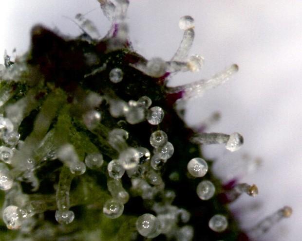 Trichomes on a Cannabis Sativa Flower | Indirectantagonist