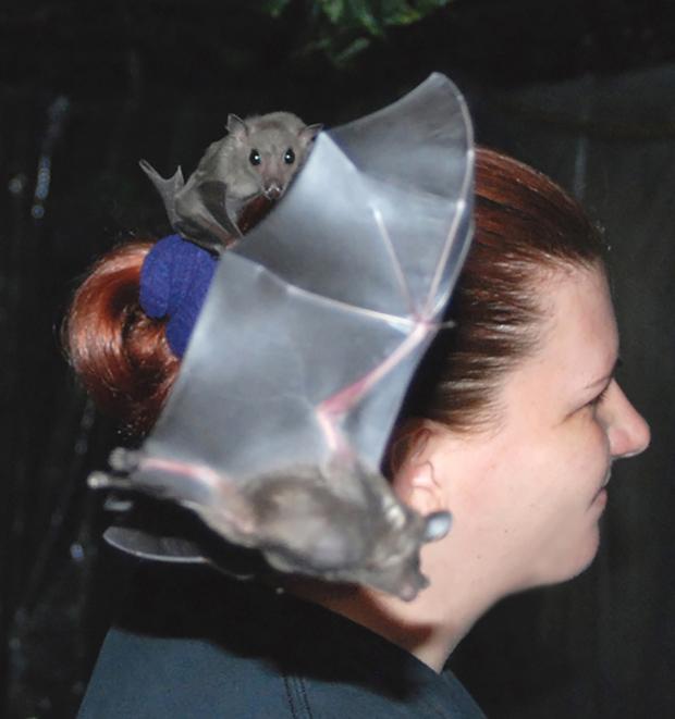 Volunteer Janette is taken advantage of by Peekaboo while Edward circles. Photo credit: Bat World Sanctuary, inc.