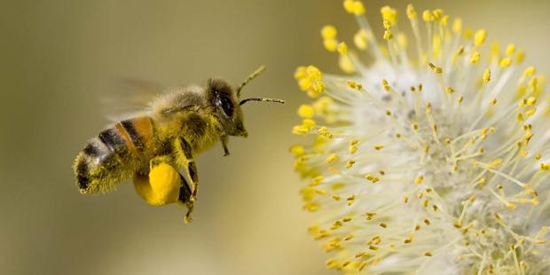 A honeybee pollinating a flower, (beesweetnaturals.com).