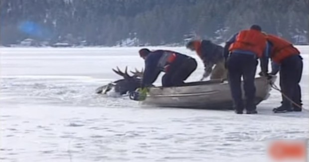 winter animal rescues: moose being rescued from frozen lake