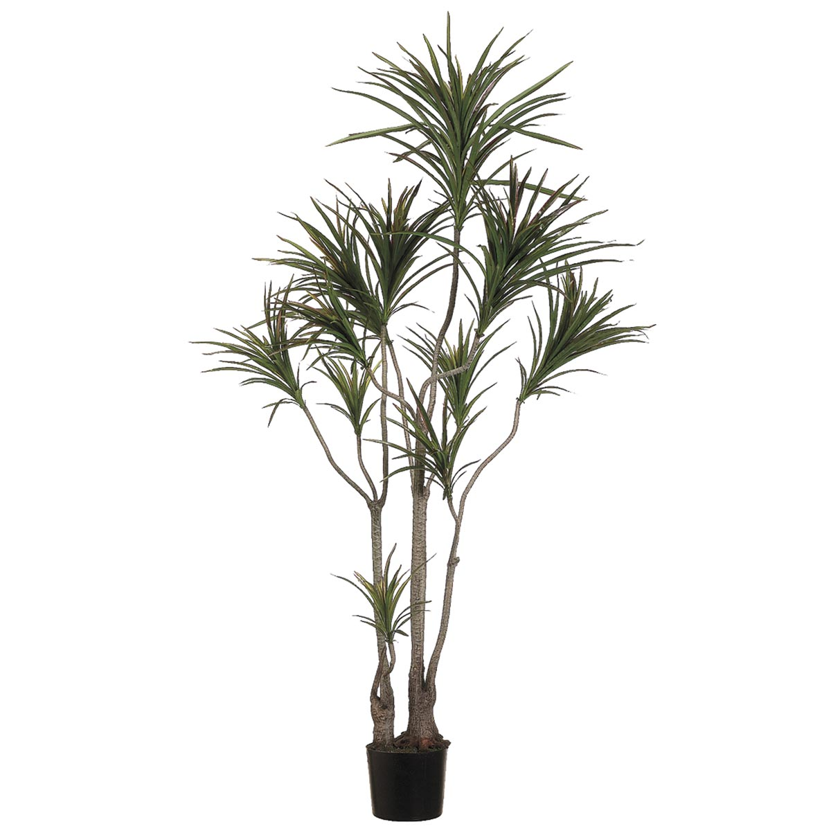 6 Foot Outdoor Dracaena Marginata Tree Limited UV