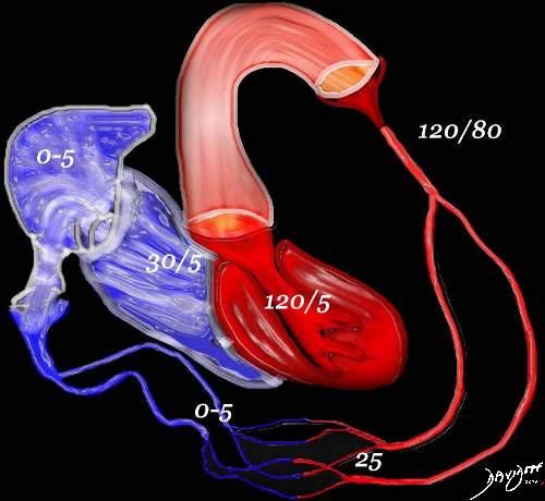 aorta-heart-left-ventricle-artery-capillary-circulatory-system-veins-right-atrium-pressures-art-anatomy-Davidoff