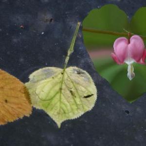 heart, heart shape, Linden tree, heartbreak, bleeding heart, flower, leaf, leaves, heart shape, Valentine's day, romance, love, lost love