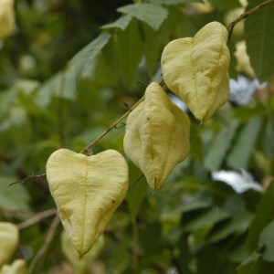 heart, heart shape, Golden Rain tree, flower, husk, heart shape, Valentine's day, romance, love,