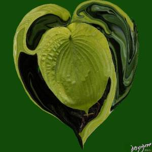 heart, heart shape, yin-yang, hosta, leaf, heart shape, Valentine's day, romance, love,