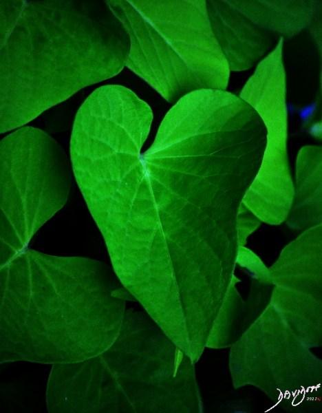 heart, heart shape, leaf, heart shape, Valentine's day, romance, love, sweet potato vine