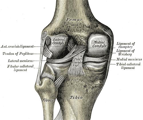 Injury Fact Sheet: Anterior Cruciate Ligament (ACL) Injury   Art ...