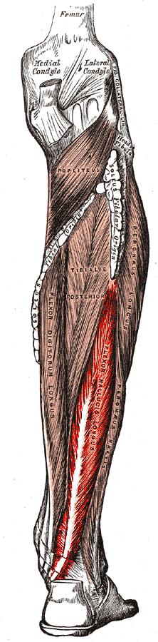 Flexor hallucis longus   Photo credit: Gray's Anatomy (public domain)