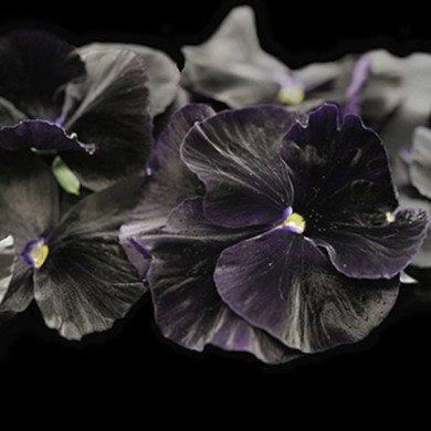 Cooking Flowers   Black Pansy Flowers  Slightly Minty  Slightly Sweet  Pansy Flower     Black Spectrum