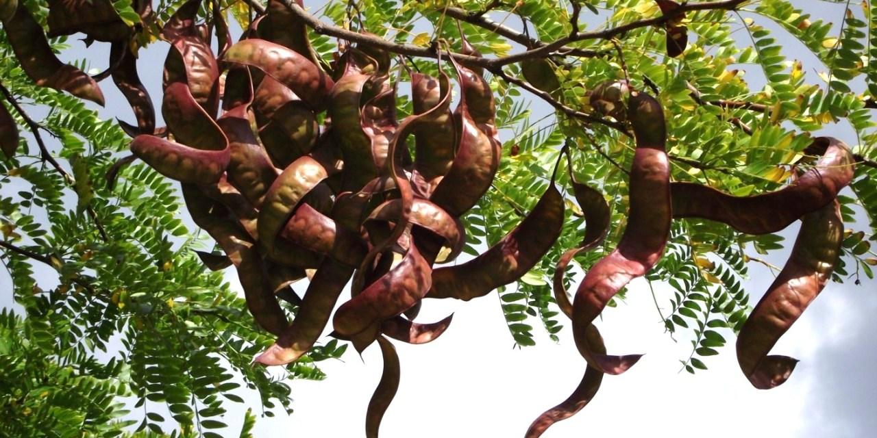 Vente de jeunes plants de févier d'Amériqueen sachets forestier prêts à replanter