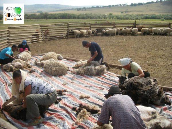 Tonte de la laine en Mongolie