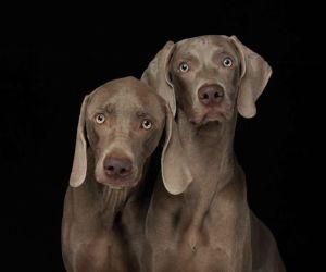 dog-portraits-by-william-wegman-part2-12