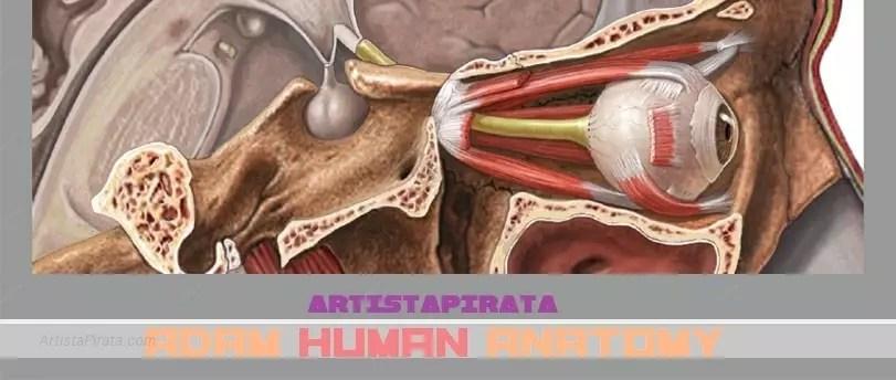 ADAM Anatomia - MEGA - DESCARGAR Archivos - Artista Pirata