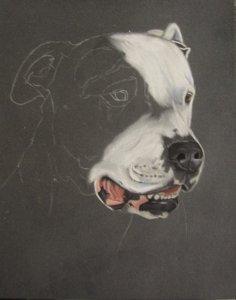 dessin dogue argentin