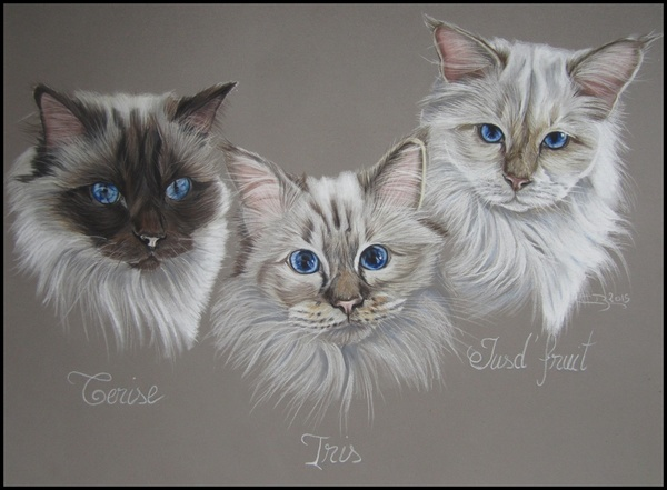 chats birmans pastel