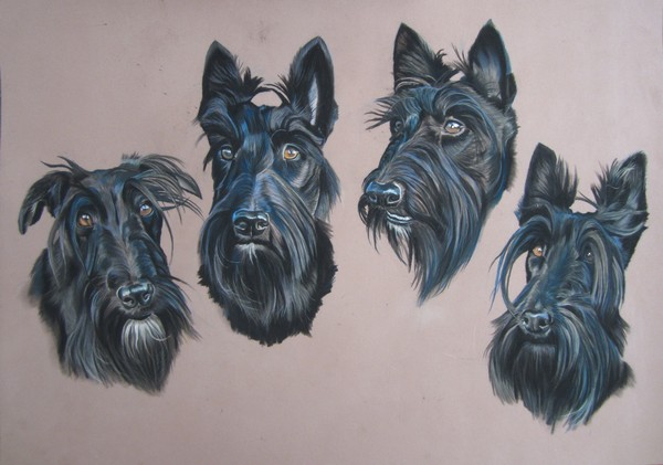 dessin scottish terrier