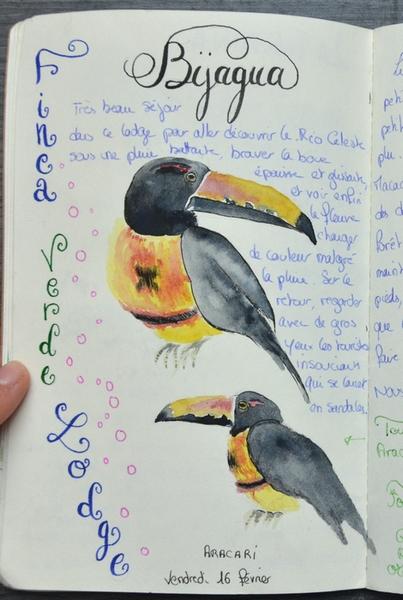 croquis toucan