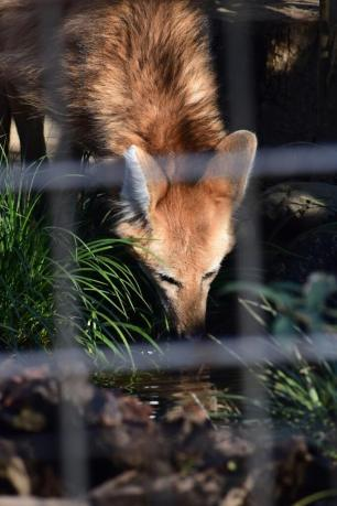 Maned Wolf at Ueno Zoo