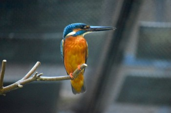 Kingfisher at Ueno Zoo