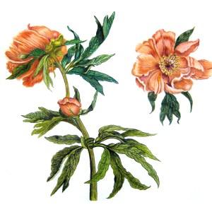 Peony Botanical Flower 8″x 10″