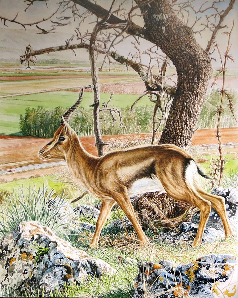 Keith Brockie - Mountain Gazelle