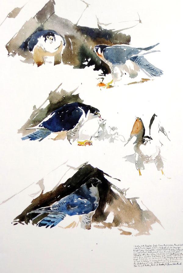 Darren Woodhead - Feeding Peregrines