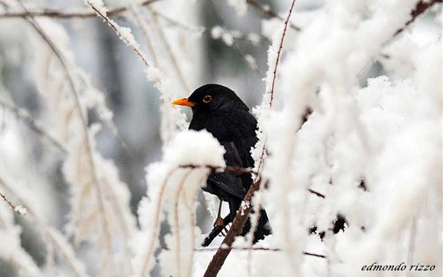Italian-legend-Giorni-della-merla-Blackbird-days-Coldest-days-year