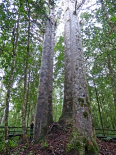 Four Sisters-Waipoua Forest.
