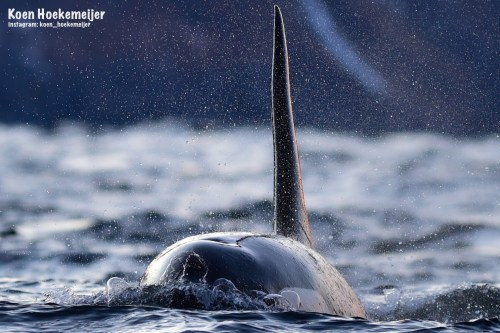 Orca action. Photo by Koen Hoekemeijer - Amsterdam, North Holland, Netherlands