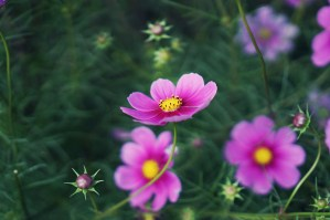 cosmos Flowers Purple public domain
