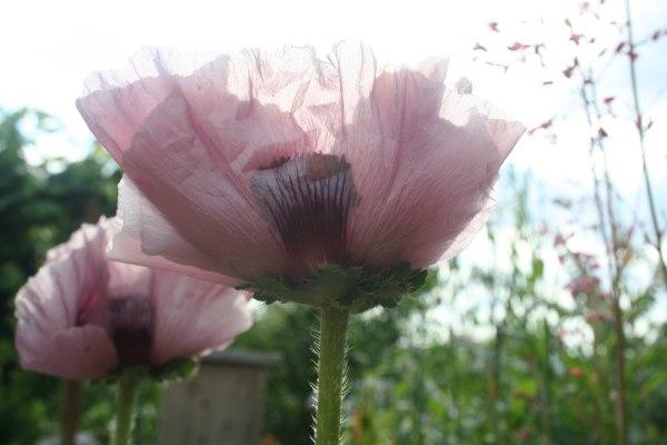 pavot patty's plum les fleurs du jardin