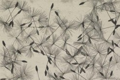 William Henry Fox Talbot: dandelion seeds