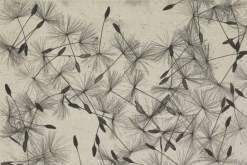William Henry Fox Talbot: dandelion seeds