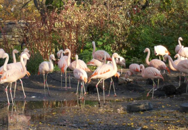 Flamingos at the Lincoln Park Zoo.