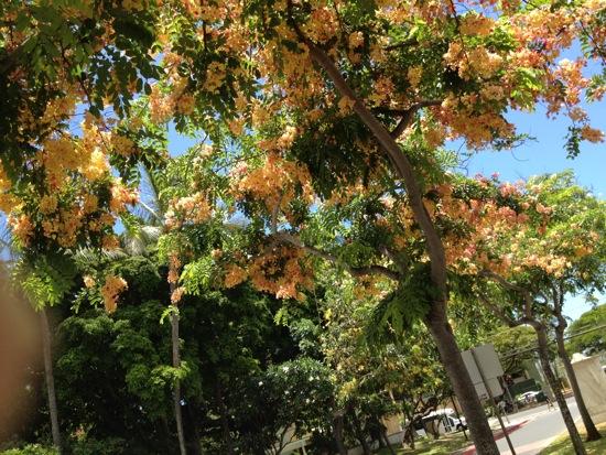 Rainbow shower tree, the University of Hawaii at Manoa