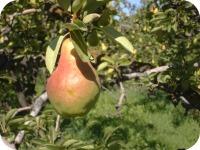 Pears #2 2013