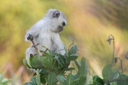 casa-frenzy-vervet-monkey-baby