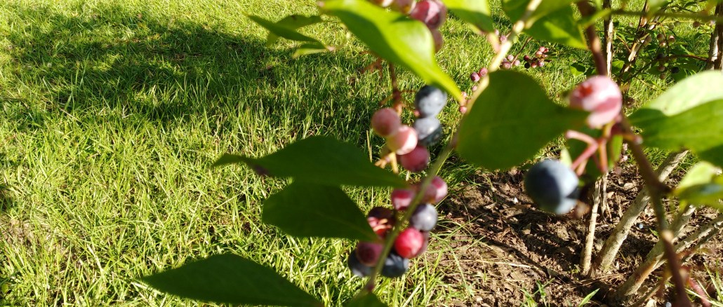 Blueberry Picking 2018
