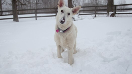 """Mia - White German Shepherd from """"Savour Every Moment"""" by Keith Hopkin"""