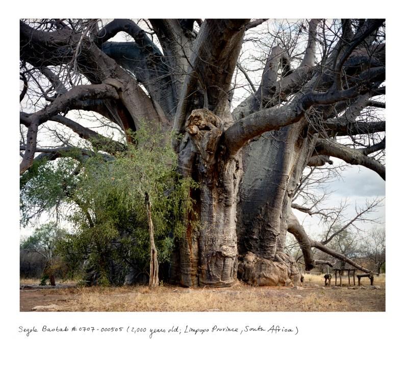 Baobab Sagole