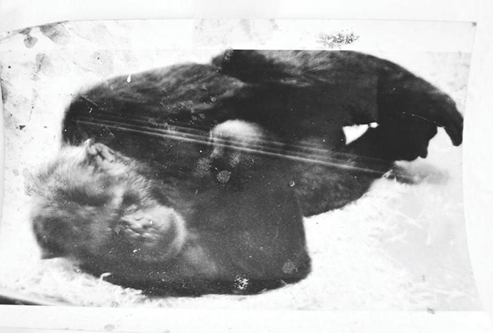 Renzo Marasca - Femmina di gorilla giovane