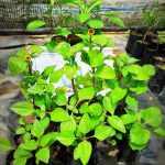 Akmella | Toothache Plant | Acmella oleracea