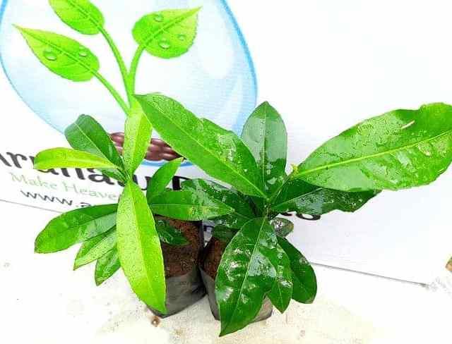 Kothala Hibutu | Salacia reticulata