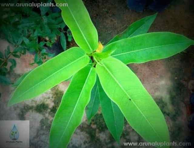 Ehetu | Ficus trimenii