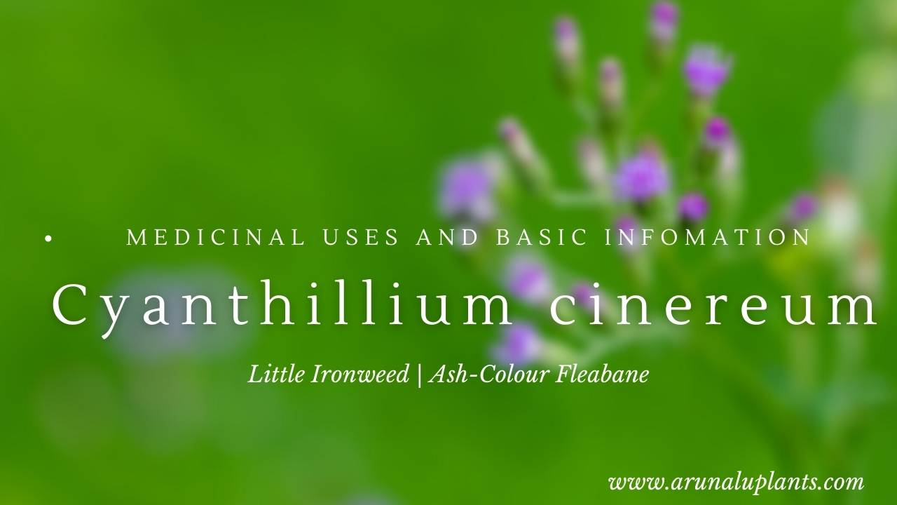 Cyanthillium cinereum | Little Ironweed | Ash-Colour Fleabane