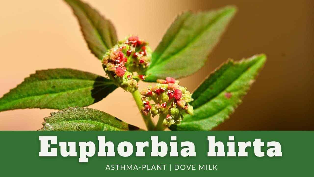 Euphorbia hirta | Asthma-Plant | Dove Milk | Garden Spurge
