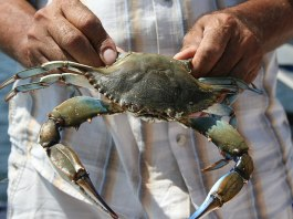 Image of man holding a blue crab.