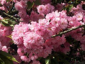 Shang-si 2018 fleur cerisier cherry flower